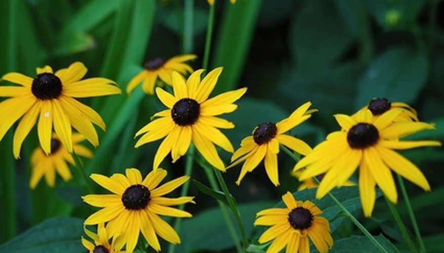 Black-eyed Susans are easy to grow wildflowers.
