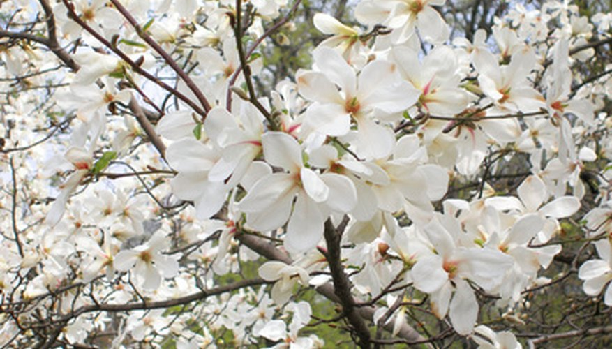 White flowering trees in mississippi garden guides southern magnolia blooms in the spring in mississippi mightylinksfo