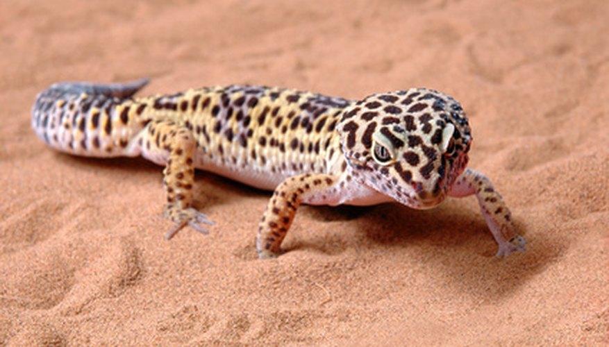 Eublepharid geckos have moveable eyelids and slender toes