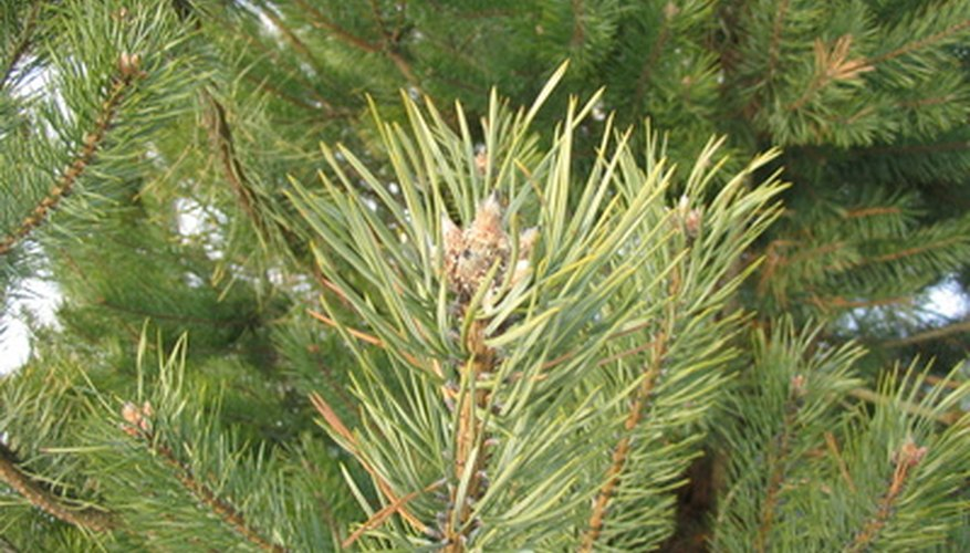 Pine trees are one type of tree susceptible to rust tree disease.