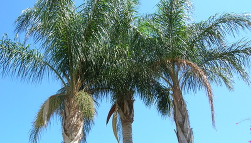 Queen palms produce pendent clusters of creamy flowers, followed by orange fruits.