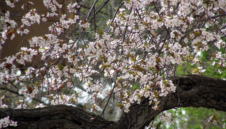 Healthy Kwanzan cherry trees have lots of blossoms and vibrant, green foliage.