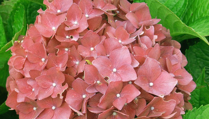 Hydrangea macrophylla blossoms