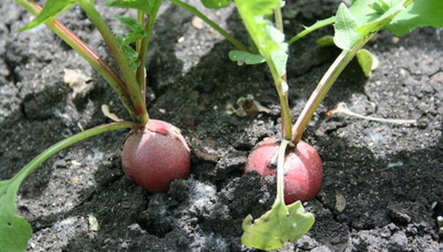 Radishes take less than a month to reach maturity.