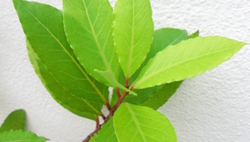 Grow your own bay tree from a cutting.