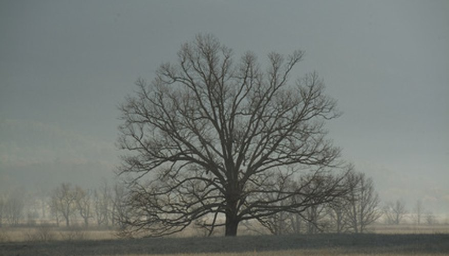 A black oak tree (Q. velutina).