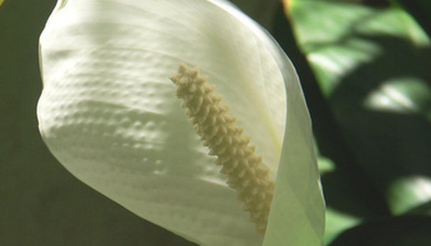 Spathiphyllum, or closet plants, feature attractive white spathes.