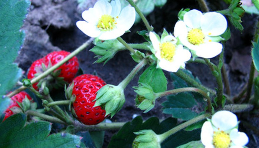 Strawberry plants beginning to yield fruit