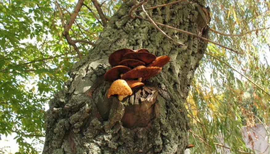An example of honey fungus mushrooms on a tree.