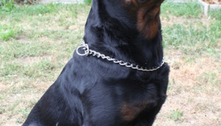 Descended from 19th century German herding and cart-pulling dogs, the powerful, handsome Rottweiler found new popularity in the late 20th century.