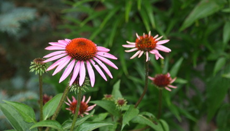 Purple coneflowers are native to much of the Eastern U.S.