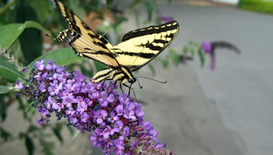 A yellow swallowtail samples nectar from a butterfly bush.