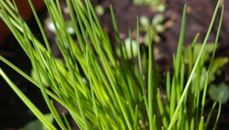 Chives need a cold period to sprout in spring.