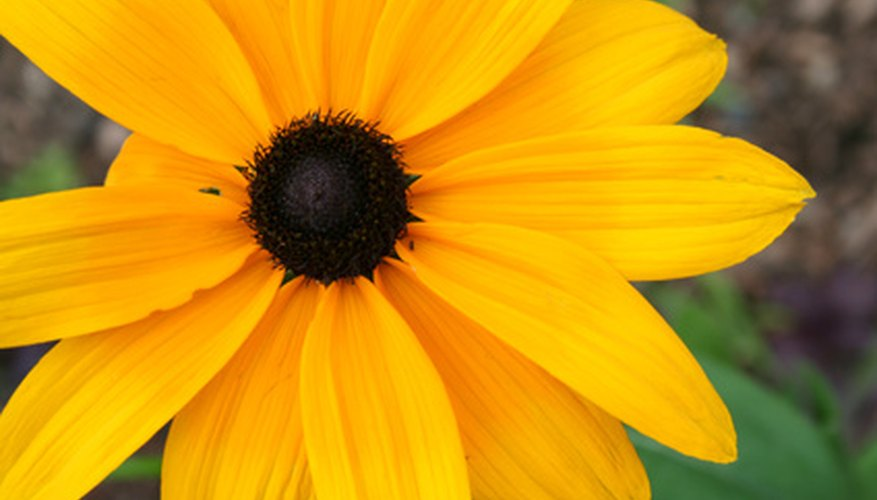 The Black-eyed Susan is a common meadow flower.