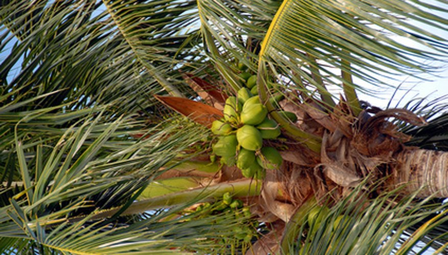 Coconut palms don't need regular cutting or pruning; it is necessary to cut away damaged or diseased fronds.