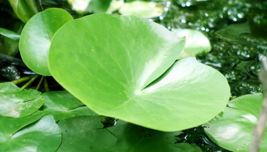 Aquatic plants have adapted to survive in a challenging aquatic environment.