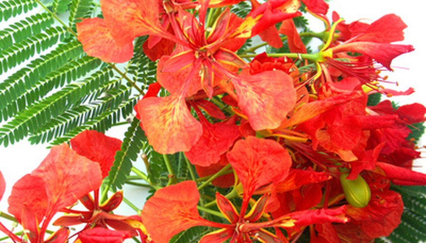 Royal poinciana flowers and feathery foliage