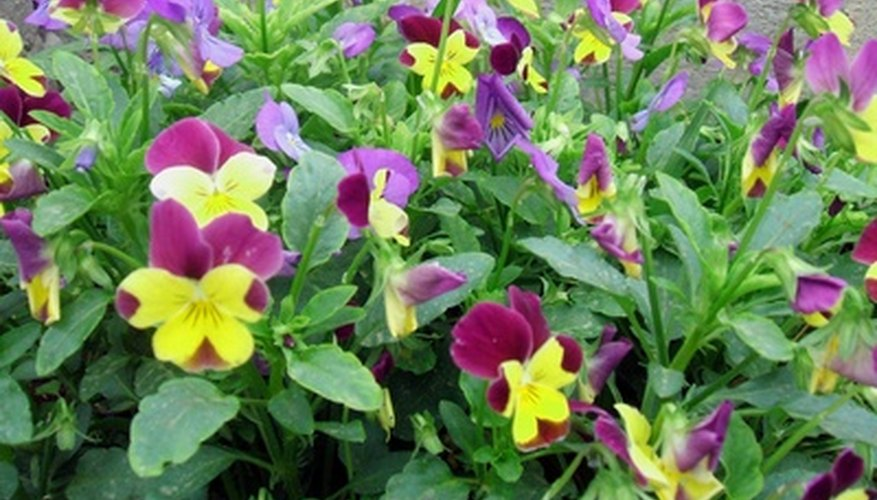 Pansies grow in containers or in your garden.
