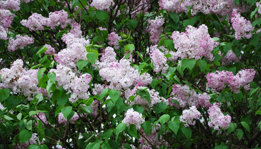 Lilacs produce highly fragrant blossoms.