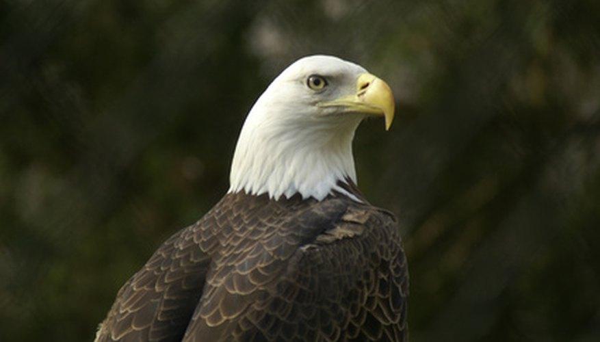El águila calva es una especie en peligro de América del Norte.
