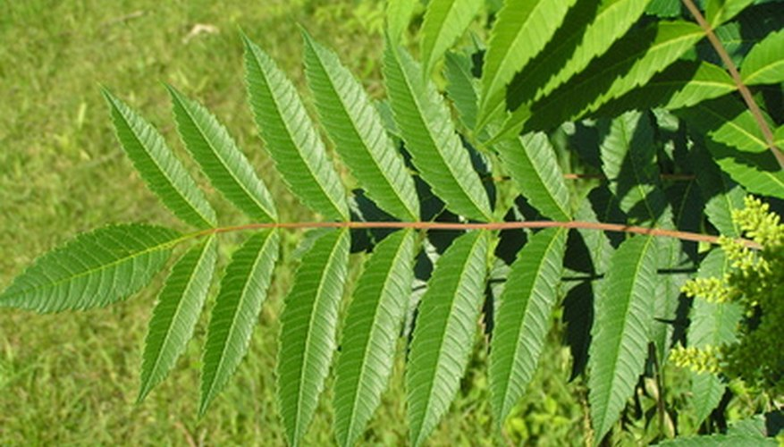 Sumac features pinnately-compound leaves with multiple leaflets.
