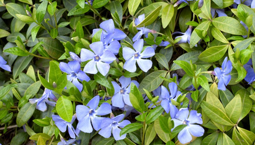 Vinca, also called myrtle or periwinkle, in bloom
