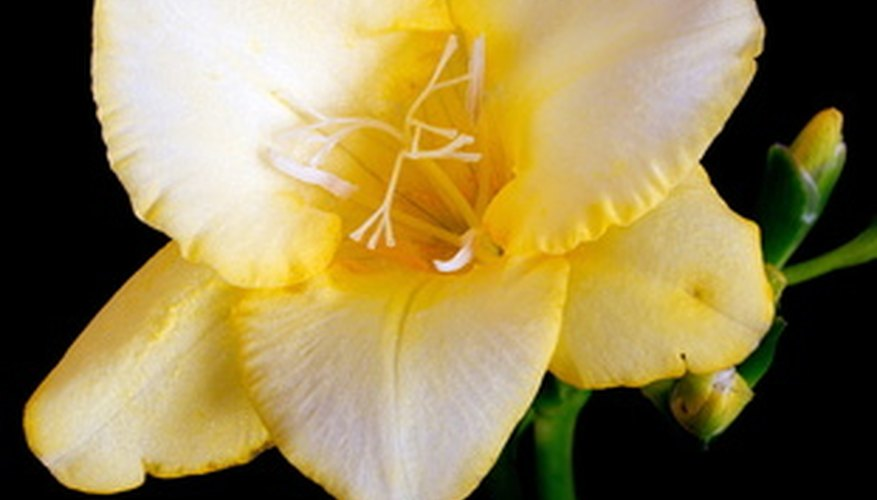 Freesia blossom for making a delicate corsage