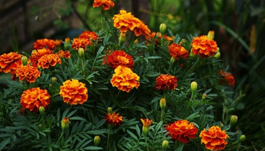 Marigolds repel pests and are good companion plants with vegetables.