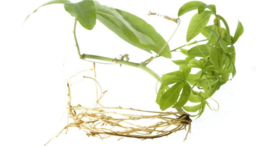 Fern roots look much the same as roots on any plant, such as the one pictured here.