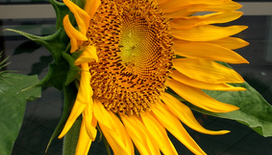 Sunflowers are easy to plant in containers, and require very little care.