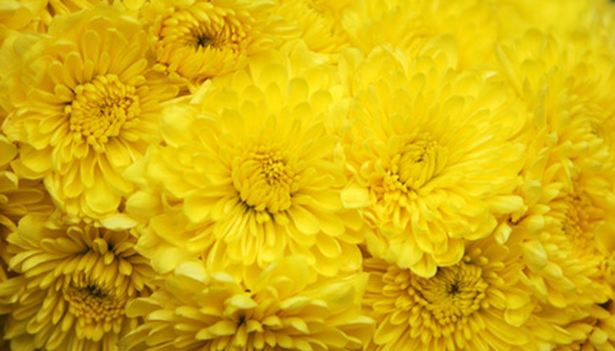 Yellow mums mean