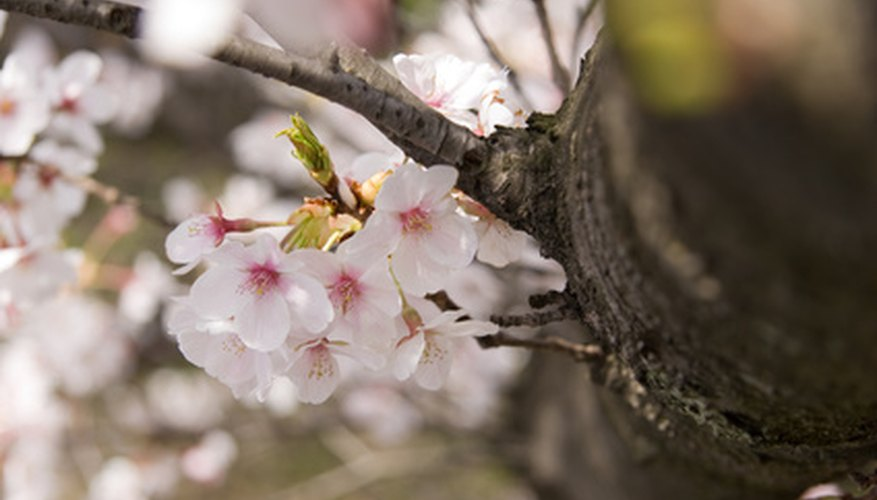 Cherry trees are popular because of the fruit and the flowers.