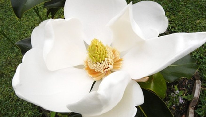 Magnolia gradiflora trees produce large, showing blooms.