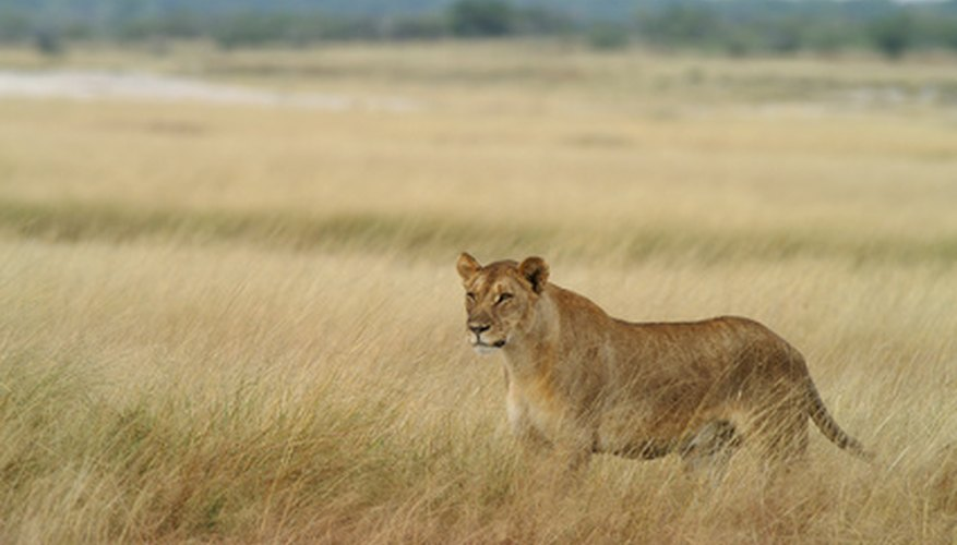 The lions that roam the savannas rely on the plant life just as much as their grass-eating companions.