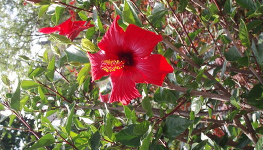 Hibiscus flowers only bloom for a day or two.