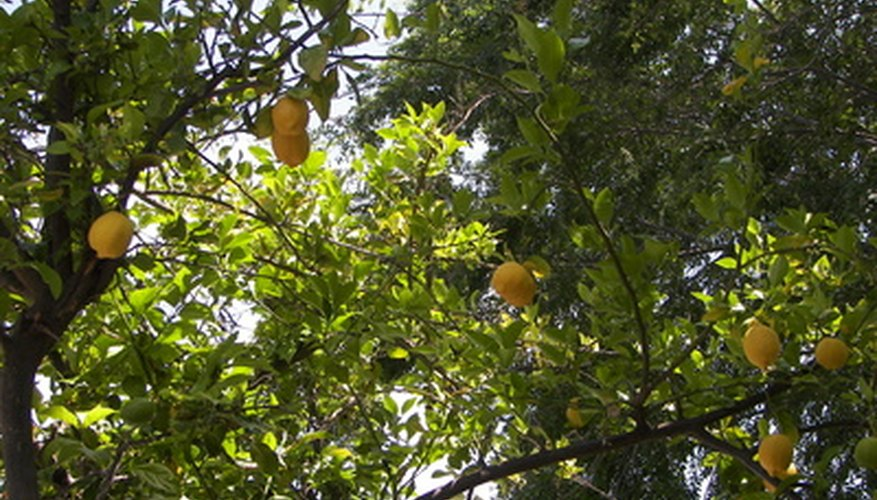 Lemon trees bearing fruit