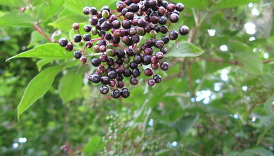 Birds love the small fruit of the elderberry shrub.