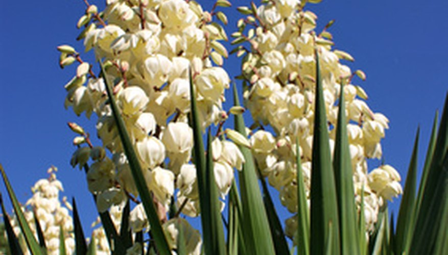 The popcorn shaped blooms of the soaptree yucca.