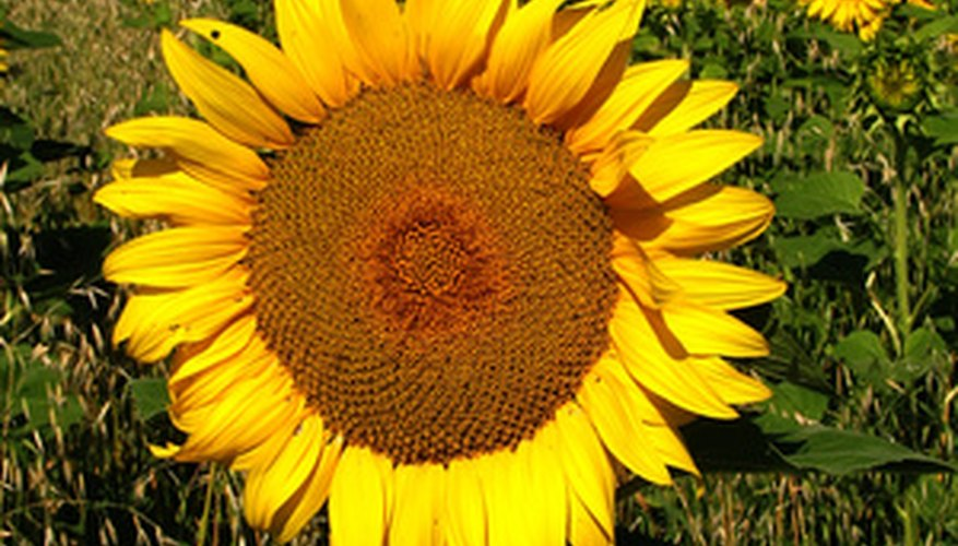 Sunflower seeds germinate faster in damp paper towels.