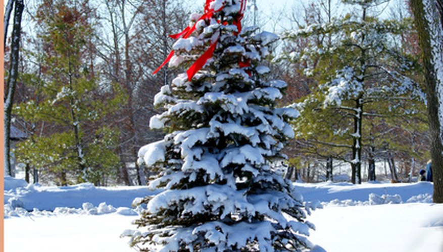 Evergreen trees can withstand the stresses of winter without losing their leaves.