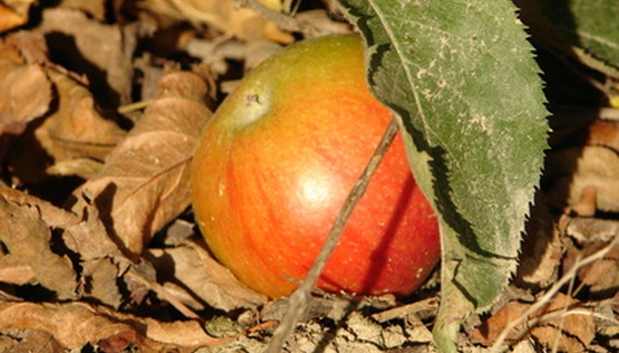 Signs of apple tree diseases usually appear on the tree's leaves.