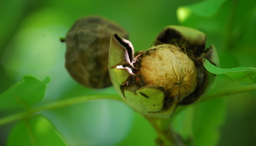 Black walnuts are encased in a hard shell, which is in turn encased in an aromatic, green outer husk.