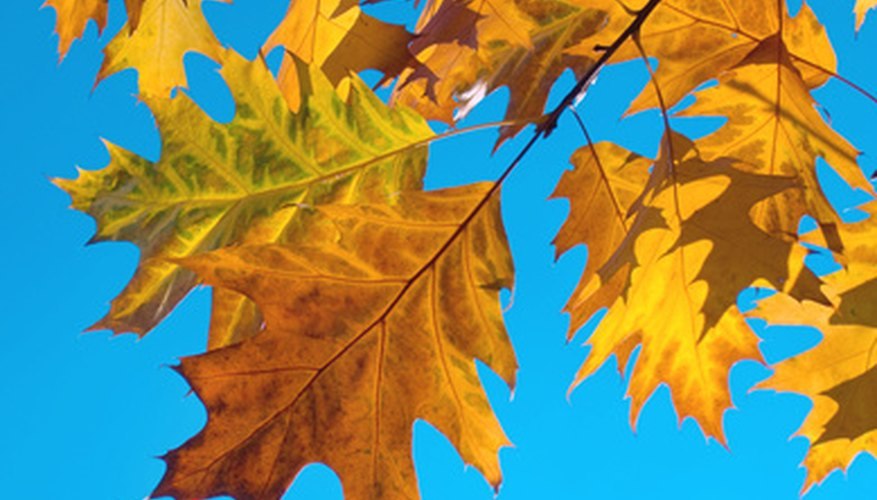 Texas oak trees are famous for their fall foliage
