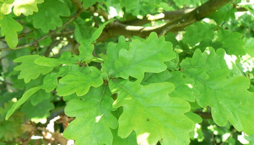 Mongolin oak leaves are wavy, not truly lobed.