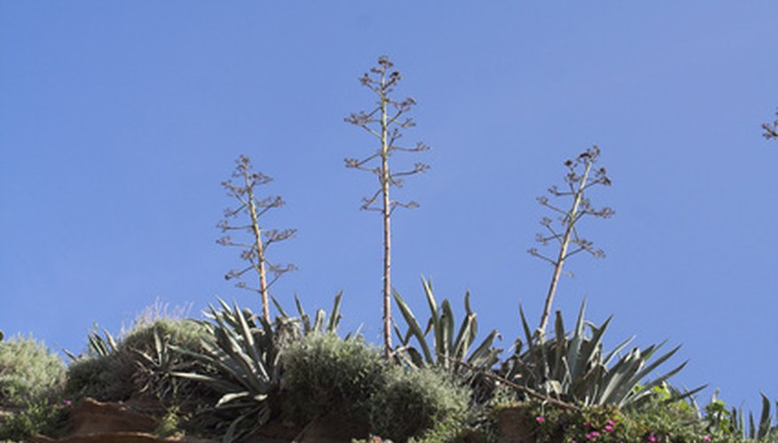 Agave comes in many shapes and sizes and produces flowers.