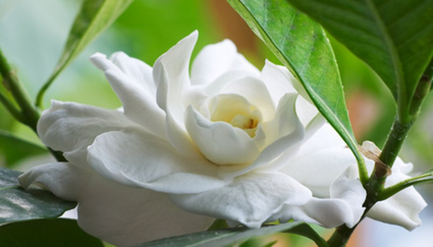 A Gardenia flower on the shrub in full bloom.