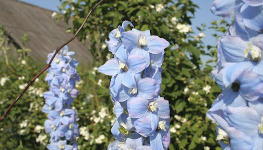 Delphinium flowers come in bright shades of blue, lavender, pink and purple.