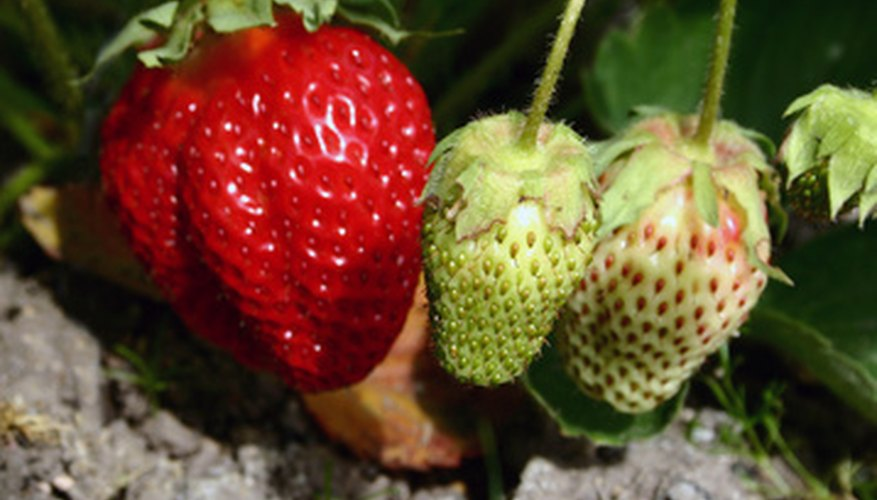 Strawberry plant with berries in various stages of maturity