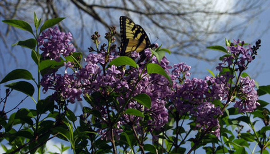 Japanese lilac trees produce showy purple blossoms in the spring.