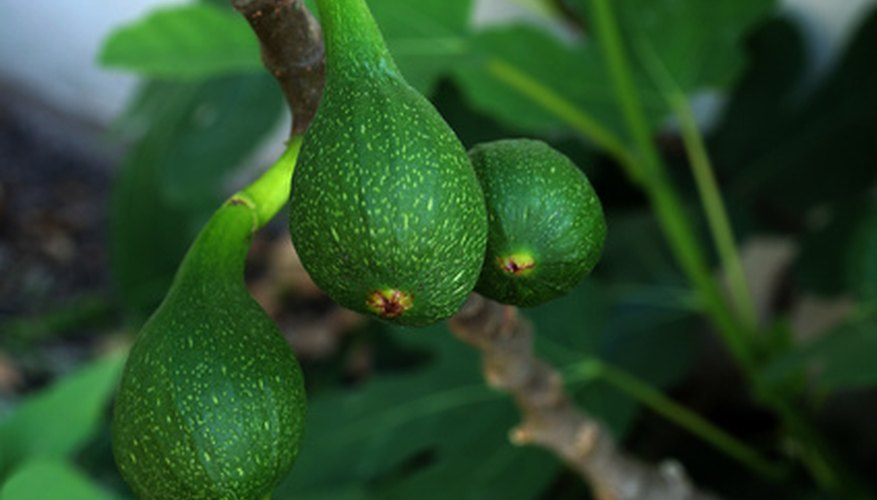 Some ficus tree varieties bear figs.